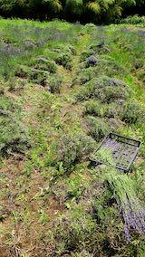 20200703中咲きラベンダーおかむらさきの収穫