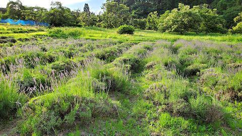 20200703収穫前のラベンダー畑