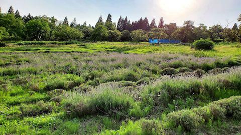 20200703ラベンダー畑の様子