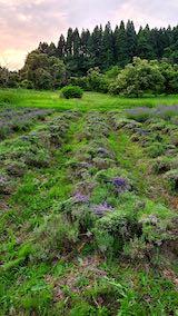 20200703収穫途中の中咲きラベンダーおかむらさきの列