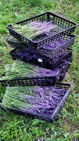 20200703収穫した中咲きラベンダーおかむらさき