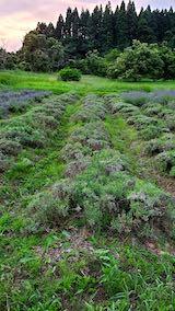 20200703収穫後の中咲きラベンダーおかむらさきの列