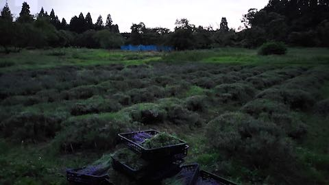 20200703真っ暗になったラベンダー畑の様子