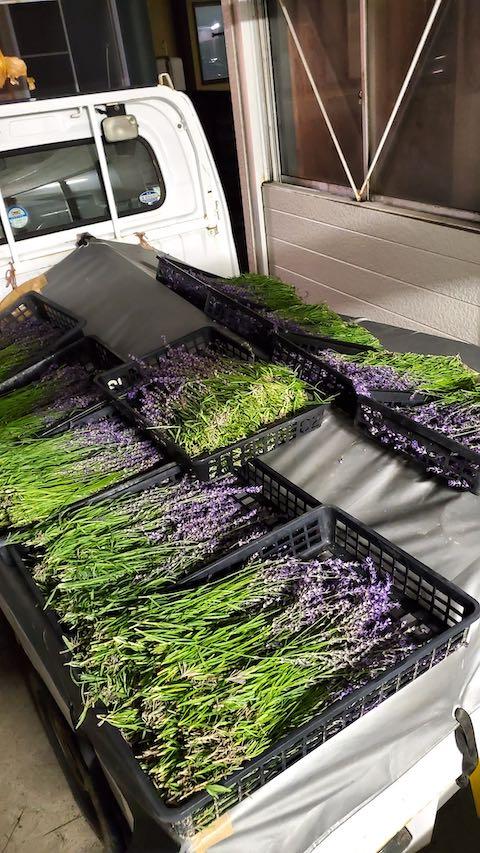 20200703今日午後から収穫したラベンダー