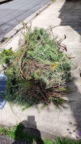 20200705刈り込んだローズマリーの枝や葉