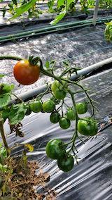 20200705野菜畑ミニトマト