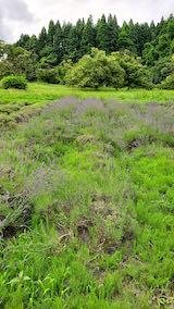 20200705収穫前の中咲きラベンダーおかむらさきの列