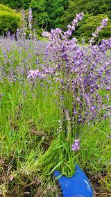 20200705収穫途中の中咲きラベンダーおかむらさき1