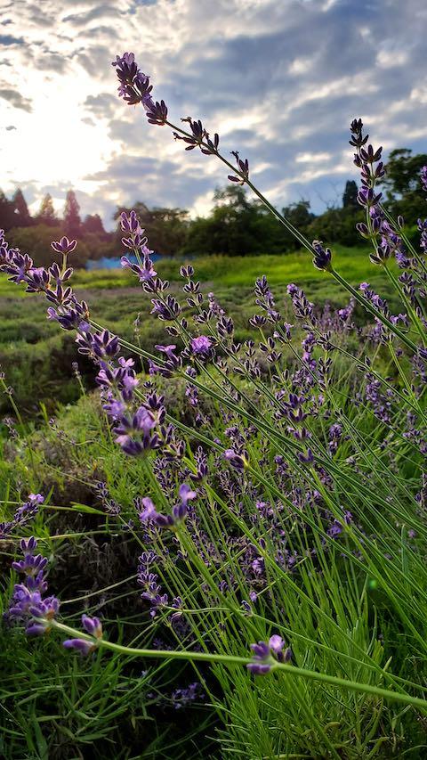 20200705収穫途中の中咲きラベンダーおかむらさき3