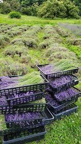 20200705収穫後の中咲きラベンダーおかむらさき1