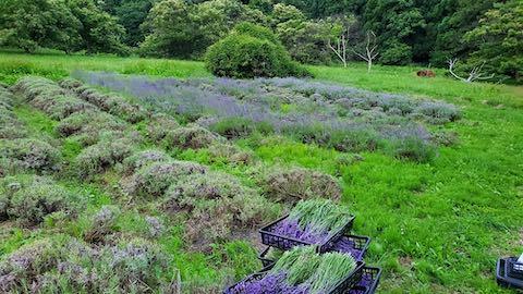 20200705収穫後のラベンダー畑の様子