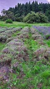 20200705収穫後の中咲きラベンダーおかむらさきの列