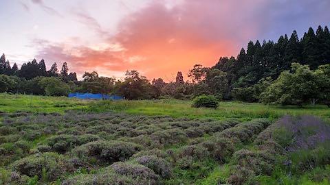 20200705収穫後に望んだラベンダー畑と夕焼け空1