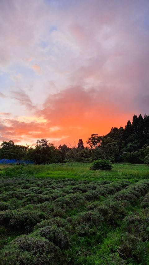 20200705収穫後に望んだラベンダー畑と夕焼け空2