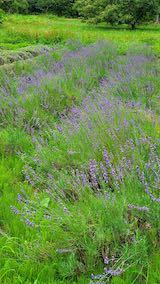 20200706刈り取り前の中咲きラベンダーおかむらさきの列2