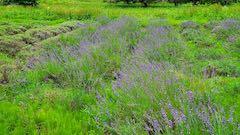 20200706刈り取り前の中咲きラベンダーおかむらさきの列1