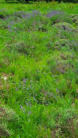20200706刈り取り前の中咲きラベンダーおかむらさきの列3