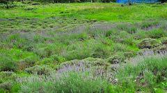 20200706刈り取り前の中咲きラベンダーおかむらさきの列4
