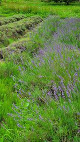 20200706刈り取り途中の中咲きラベンダーおかむらさきの列2