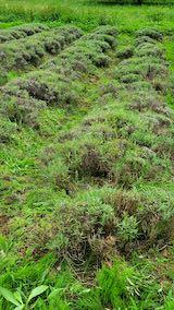 20200706刈り取り後の中咲きラベンダーおかむらさきの列2