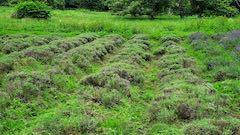 20200706刈り取り途中の中咲きラベンダーおかむらさきの列1