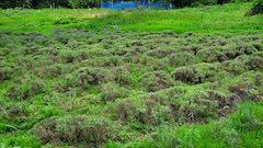 20200706刈り取り後の中咲きラベンダーおかむらさきの列5