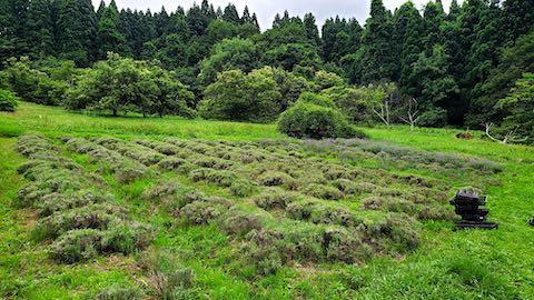 20200706刈り取り前のラベンダー畑の様子2