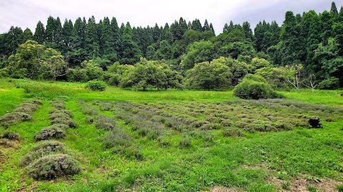 20200706刈り取り前のラベンダー畑の様子1