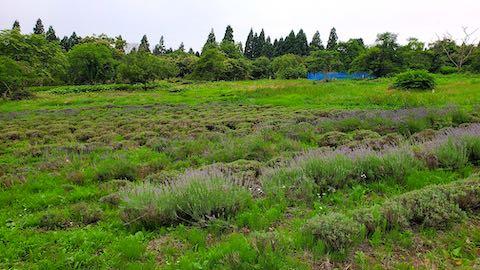 20200706刈り取り途中のラベンダー畑の様子1