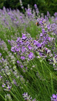 20200706刈り取り前の遅咲きラベンダーはなもいわの花1