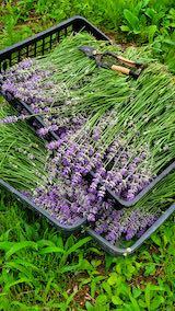 20200706収穫した遅咲きラベンダーはなもいわの花