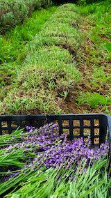 20200706刈り取り後の仮植えラベンダーおかむらさきの列