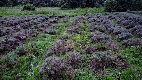 20200706刈り取り後の中咲きラベンダーおかむらさきの列1