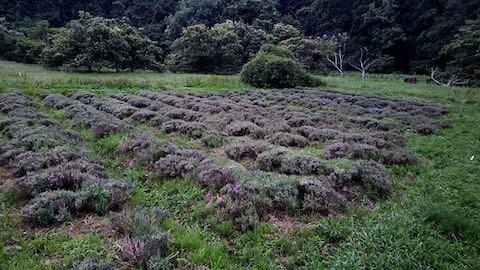 20200706刈り取り後のラベンダー畑の様子2