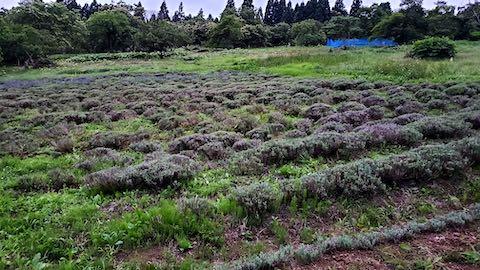 20200706刈り取り後のラベンダー畑の様子3