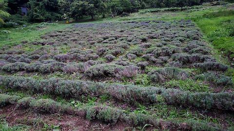20200706刈り取り後のラベンダー畑の様子4