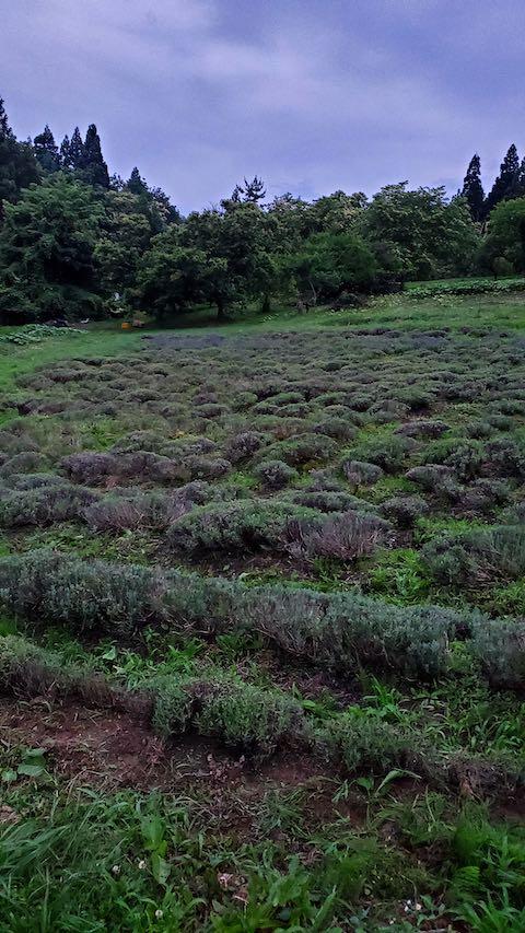 20200706刈り取り後のラベンダー畑の様子5
