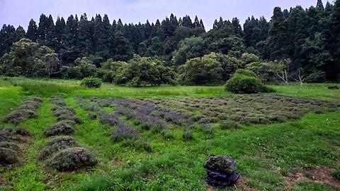 20200706刈り取り後のラベンダー畑の様子1