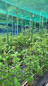 20200709野菜畑トマト