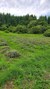 20200709収穫前のラベンダー畑