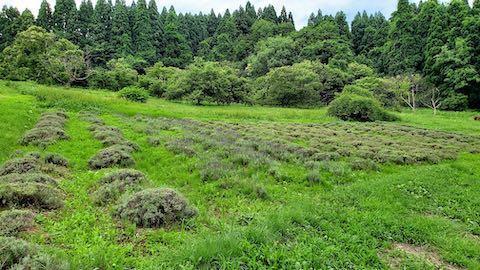 20200709草取り前のラベンダー畑の様子