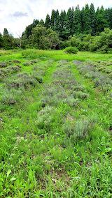 20200709収穫前の早咲きラベンダーこいむらさきの列1