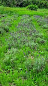 20200709収穫前の早咲きラベンダーこいむらさきの列2