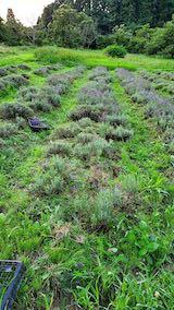 20200709収穫途中の早咲きラベンダーこいむらさきの列1