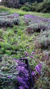 20200709収穫途中の早咲きラベンダーこいむらさき