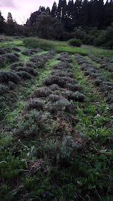 20200709収穫後の早咲きラベンダーこいむらさきの列1