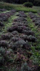 20200709収穫後の早咲きラベンダーこいむらさきの列2