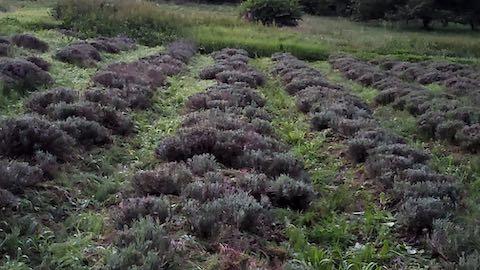 20200709草取り途中のラベンダー畑の様子1