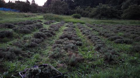 20200709草取り途中のラベンダー畑の様子2