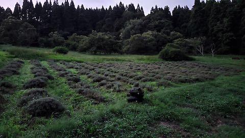 20200709草取り途中のラベンダー畑の様子3